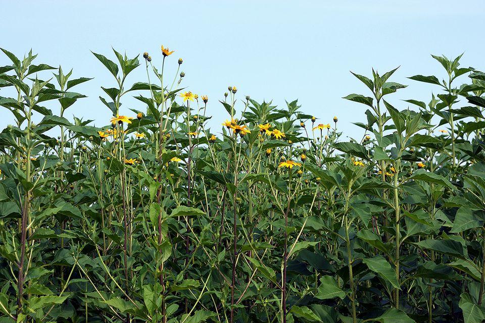 Topinambur (Helianthus tuberosus) Feld