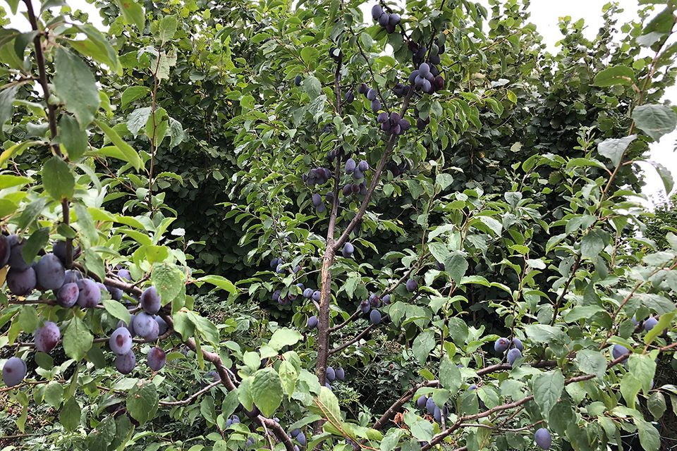 Pflaume (Prunus domestica) Baum