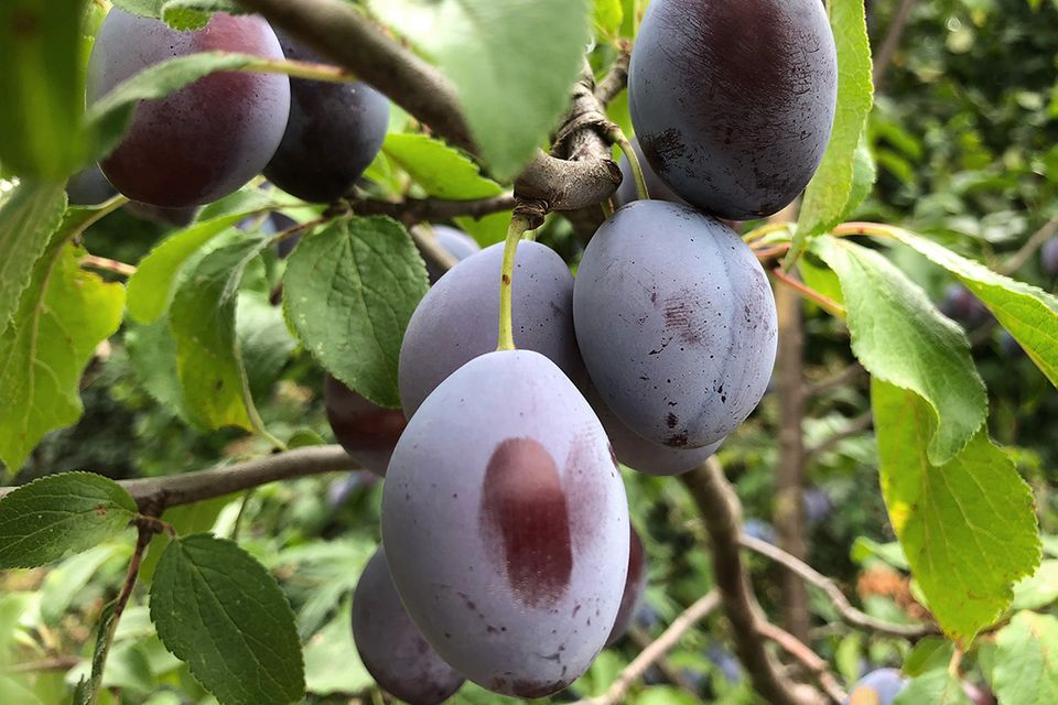Pflaume (Prunus domestica) Früchte
