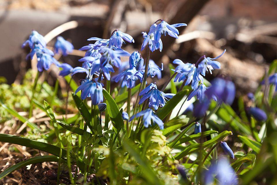 Blaustern (Scilla spec.)