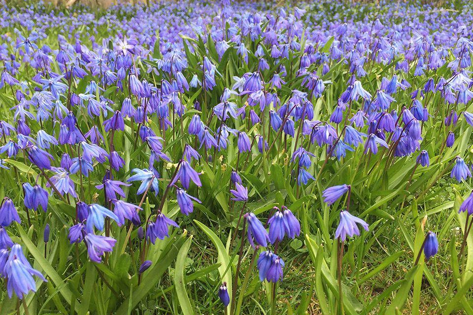 Sibirischer Blaustern (Scilla spec.)