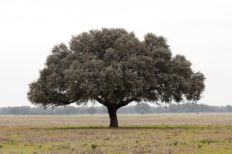 Eiche (Quercus spec.) Baum