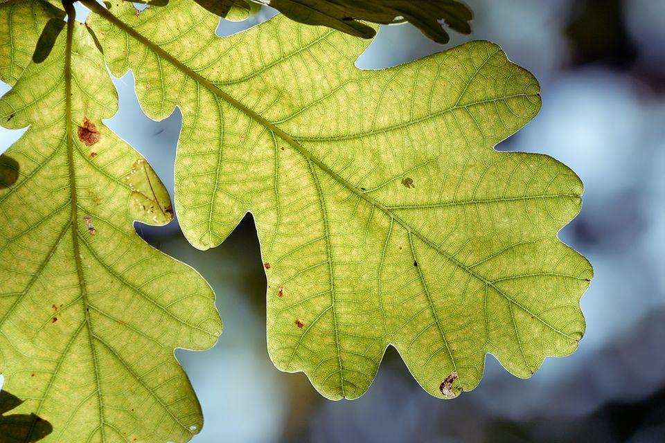 Eiche (Quercus spec.) Blatt