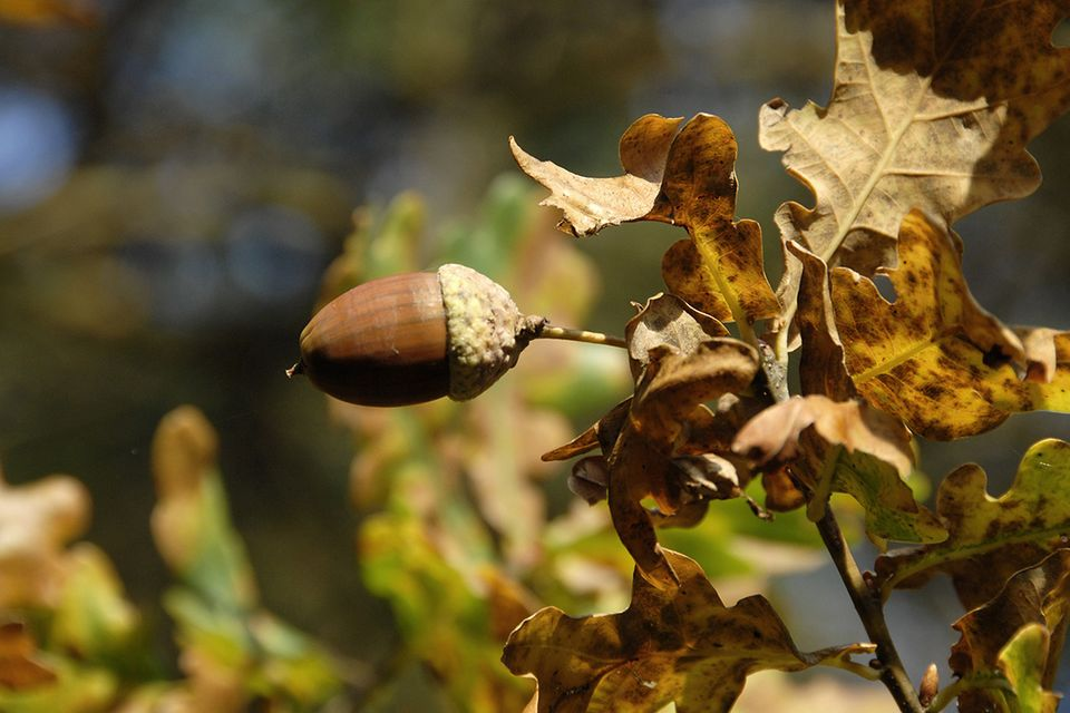 Eiche (Quercus spec.) Eichel