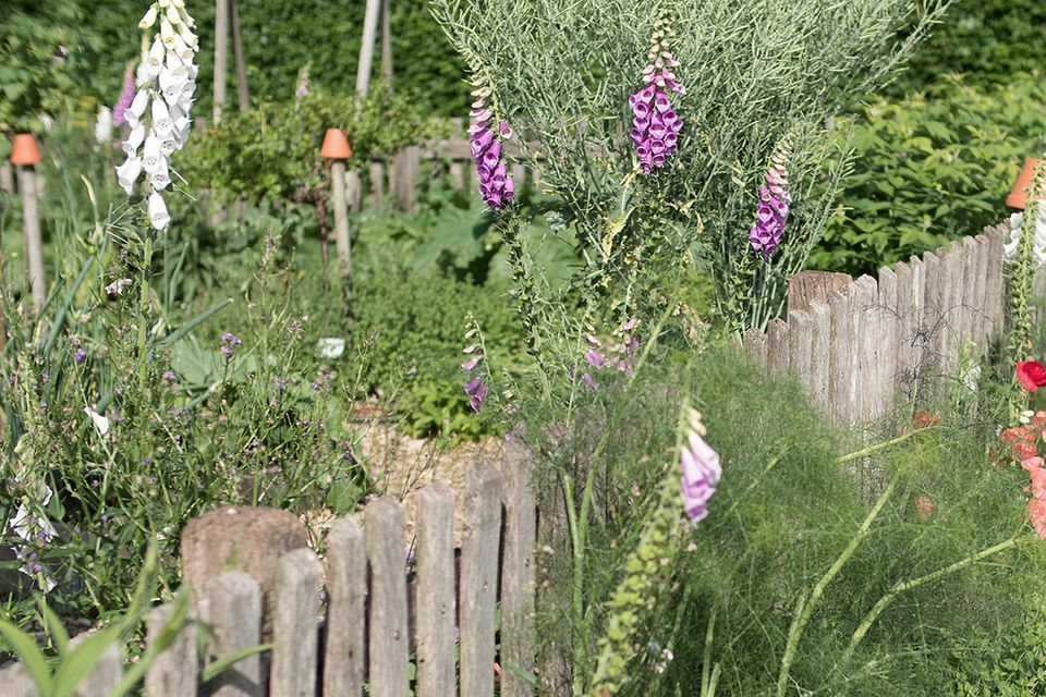 Fingerhut (Digitalis spec.) im Bauerngarten