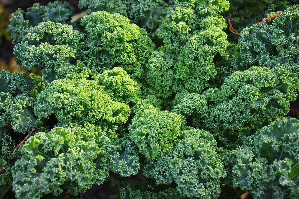 Grünkohl (Brassica oleracea convar. acephala var. sabellica) Gemüse