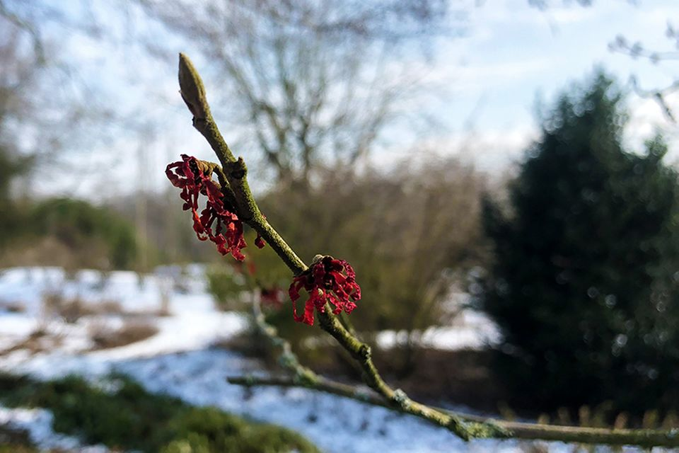 Rotblütige Zaubernuss (Hamamelis x intermedia)