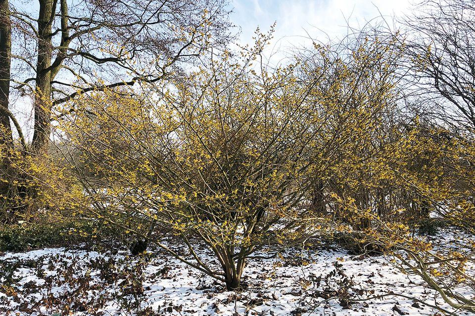 Zaubernuss (Hamamelis mollis 'Pallia') Strauch im Schnee Anfang März