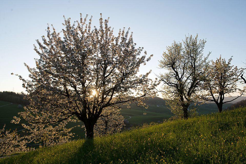 Kirsche (Prunus Sektion Cerasus) Kirschbaum