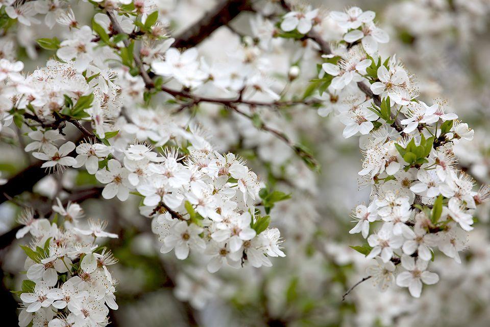 Kirsche (Prunus Sektion Cerasus) Blüten