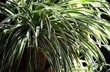 Grünlilie (Chlorophytum comosum)