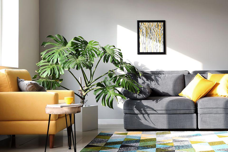Monstera / Fensterblatt (Monstera spec.) Pflanze im Wohnzimmer