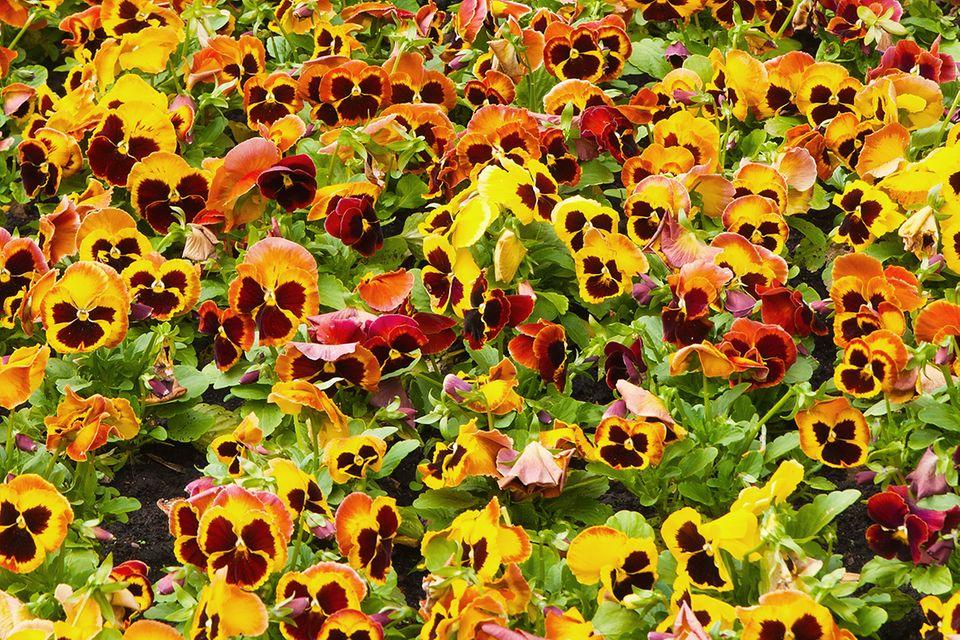 Stiefmütterchen (Viola wittrockiana und Viola tricolor) bunt