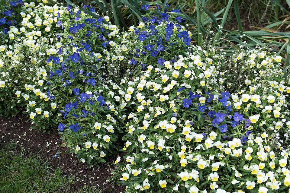 Stiefmütterchen (Viola wittrockiana und Viola tricolor) Beet