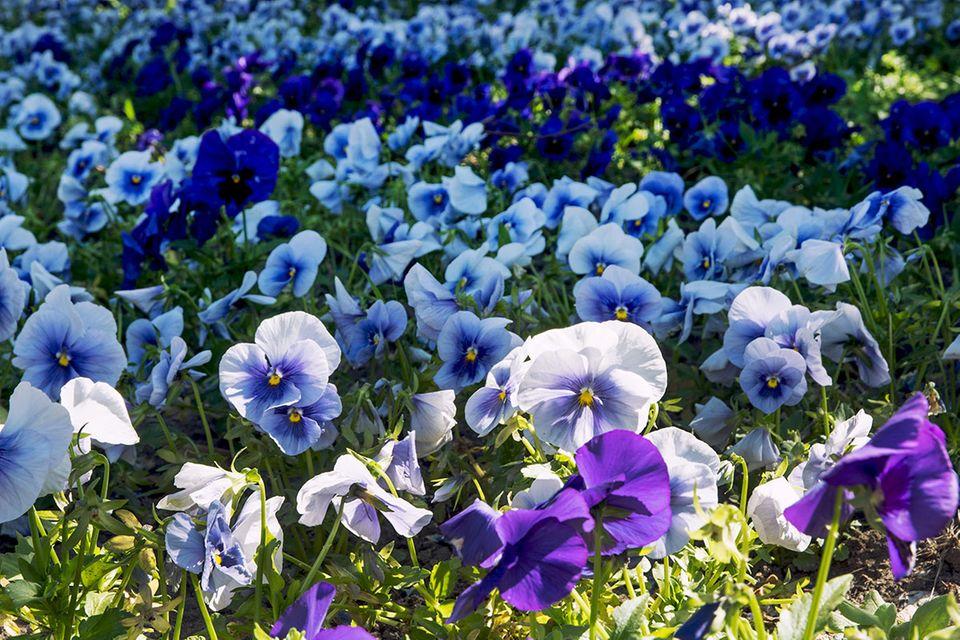 Stiefmütterchen (Viola wittrockiana und Viola tricolor) violett, blau