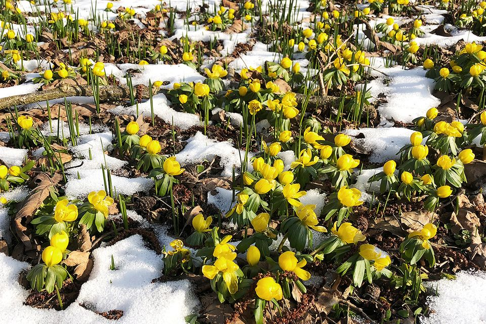 Winterling (Eranthis spec.) im Schnee