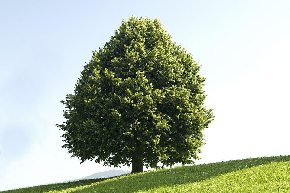 Linde (Tilia spec.) Baum