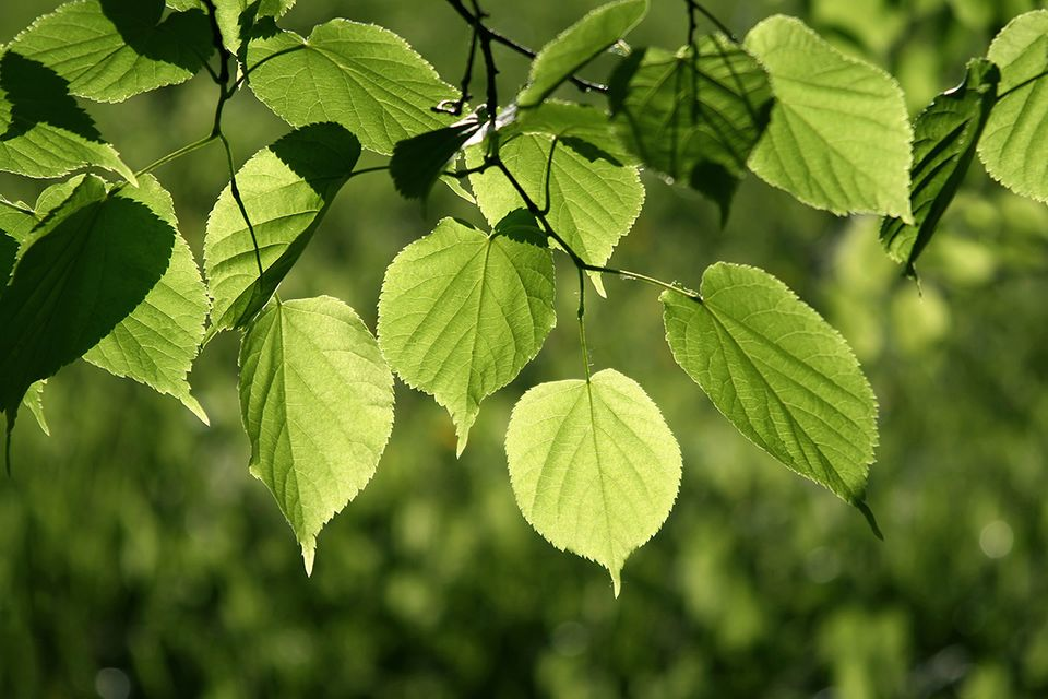 Linde (Tilia spec.) Blätter
