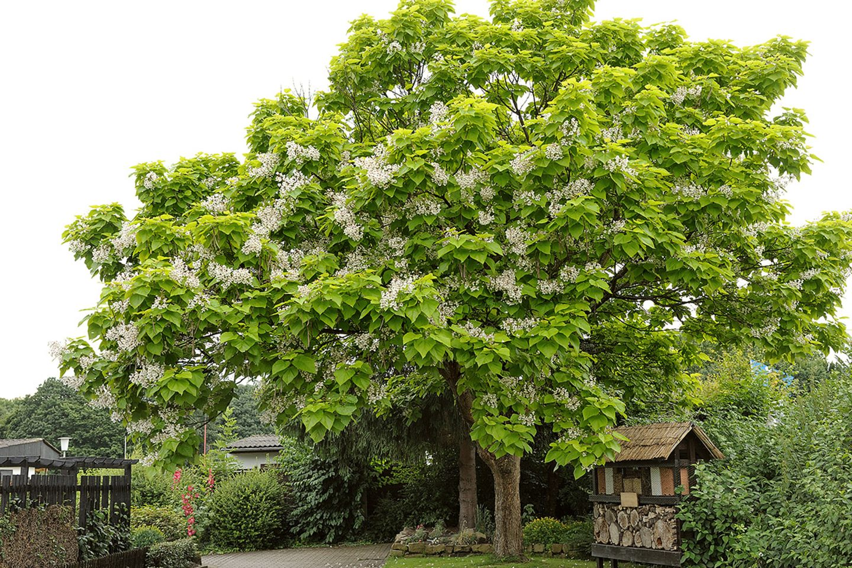 Trompetenbaum (Catalpa bignonioides) mit Blüten