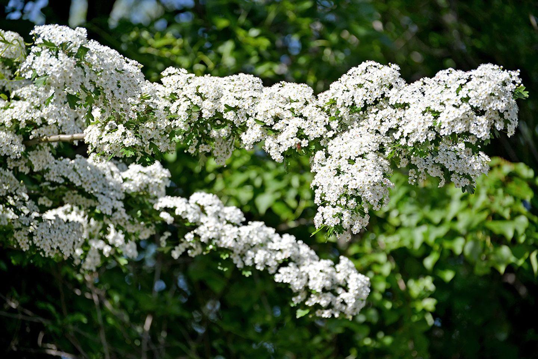 Weißdorn (Crataegus) Blüten