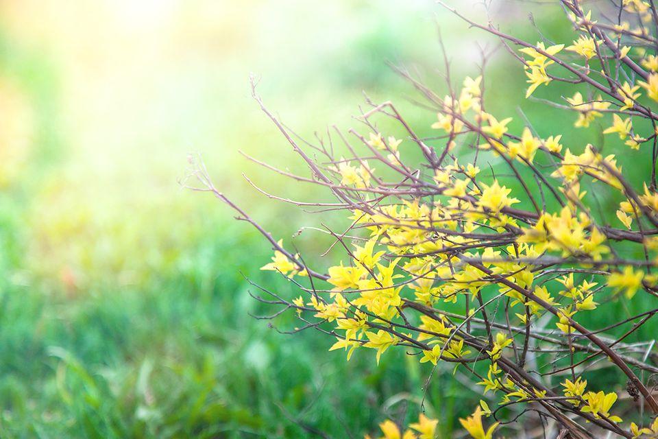 Gartenkalender: Forsythie mit Rasen