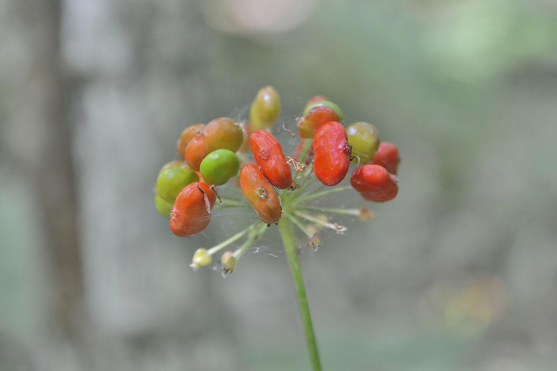 Ginseng / Ginsengpflanze (Panax ginseng)