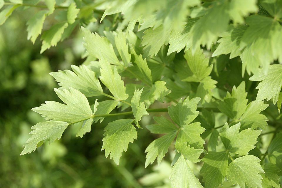 Liebstöckel, Maggikraut (Levisticum officinale)