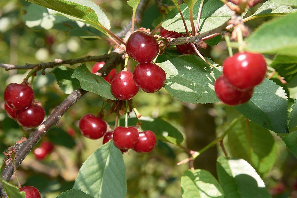 Sauerkirsche, Sauerkirschbaum (Prunus cerasus) Frucht