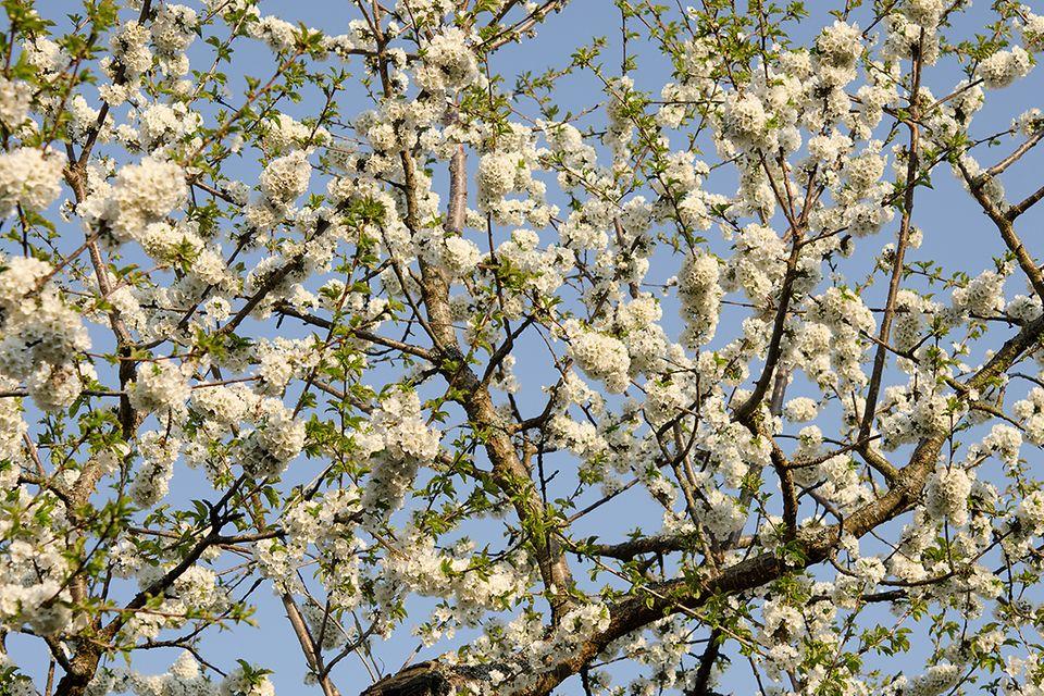 Süßkirsche, Süßkirschenbaum (Prunus avium subsp.) Blüte