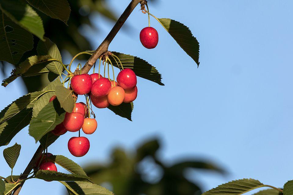 Süßkirsche, Süßkirschenbaum (Prunus avium subsp.) Frucht