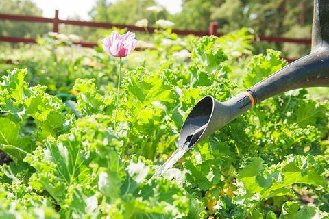 Gartenkalender August: Pflanzen gießen
