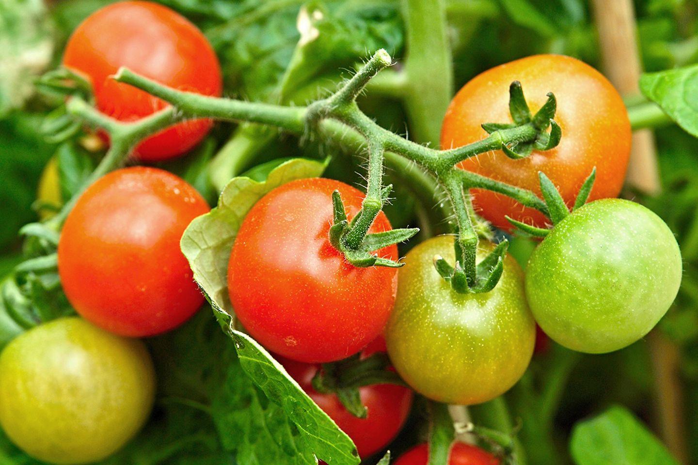 Tomate, Tomatenpflanze (Solanum lycopersicum)