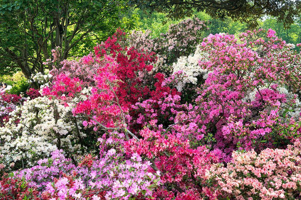 Gartenazalee (Rhododendron obtusum, Rhododendron luteum)