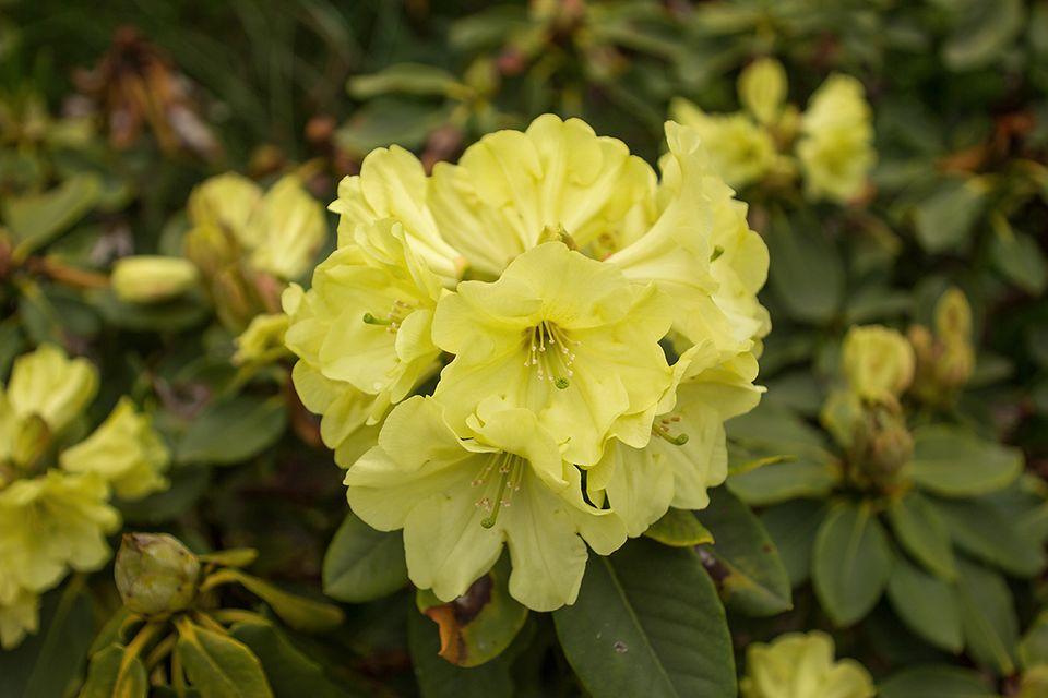Gartenazalee (Rhododendron obtusum, Rhododendron luteum) gelb
