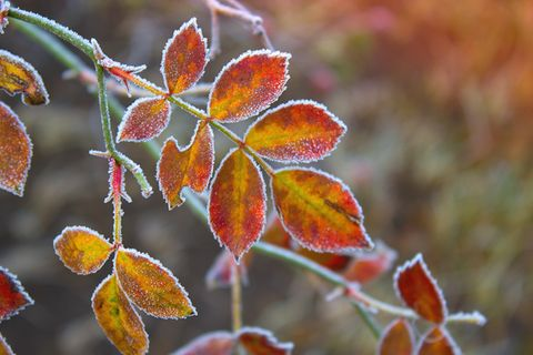 Gartenkalender November: Blätter mit Raureif