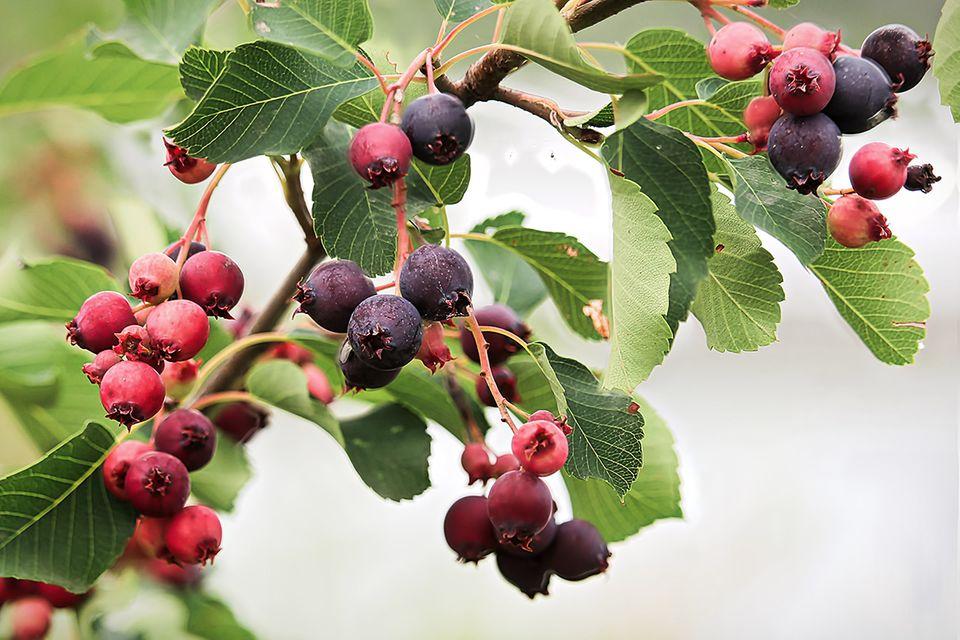 Felsenbirne, Amelanchier (Amelanchier spec.) Frucht