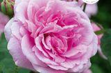 Rosen Gartenbuch