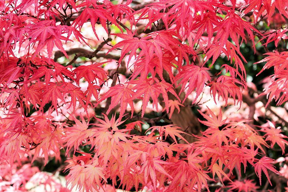 Ahorn (Acer) Baum