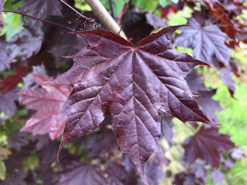 Ahorn (Acer) Blatt