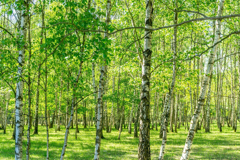 Birke (Betula spec.) Baum