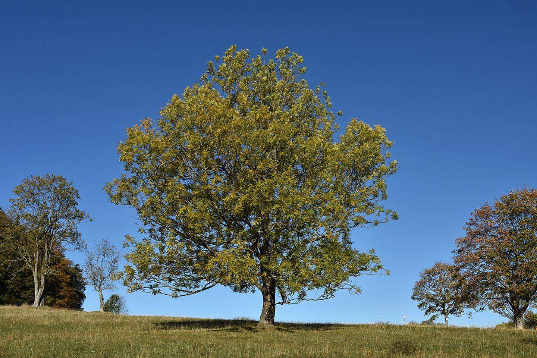 Esche (Fraxinus excelsior) Baum
