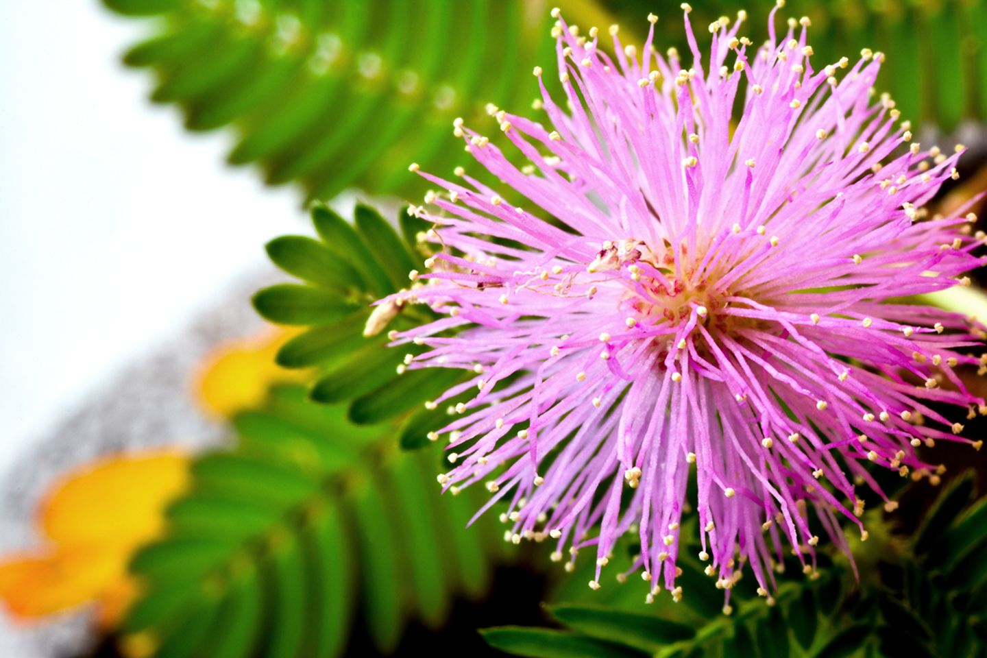 Mimose (Mimosa pudica) Blüte
