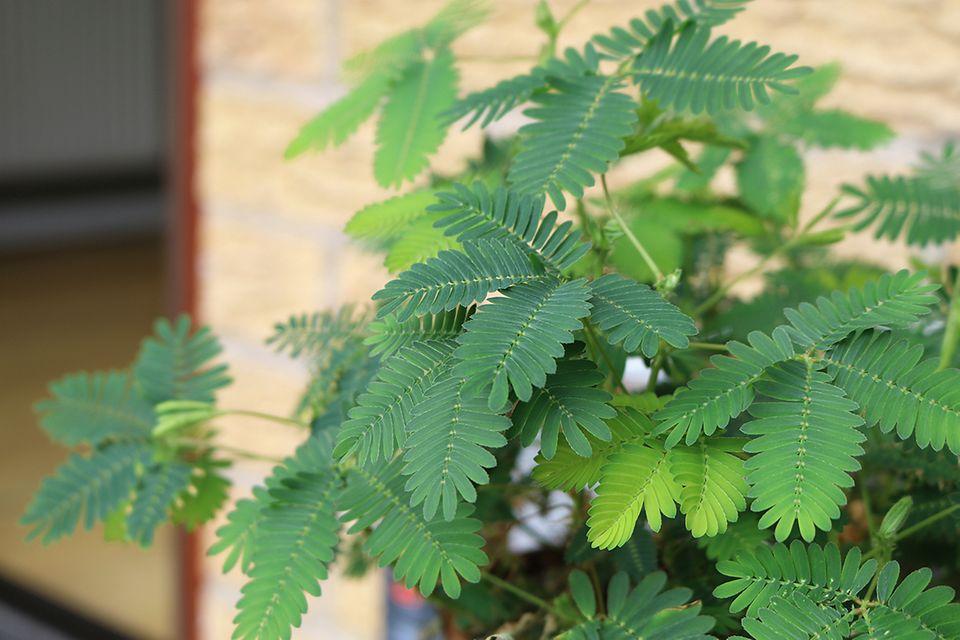 Mimose (Mimosa pudica) Blätter