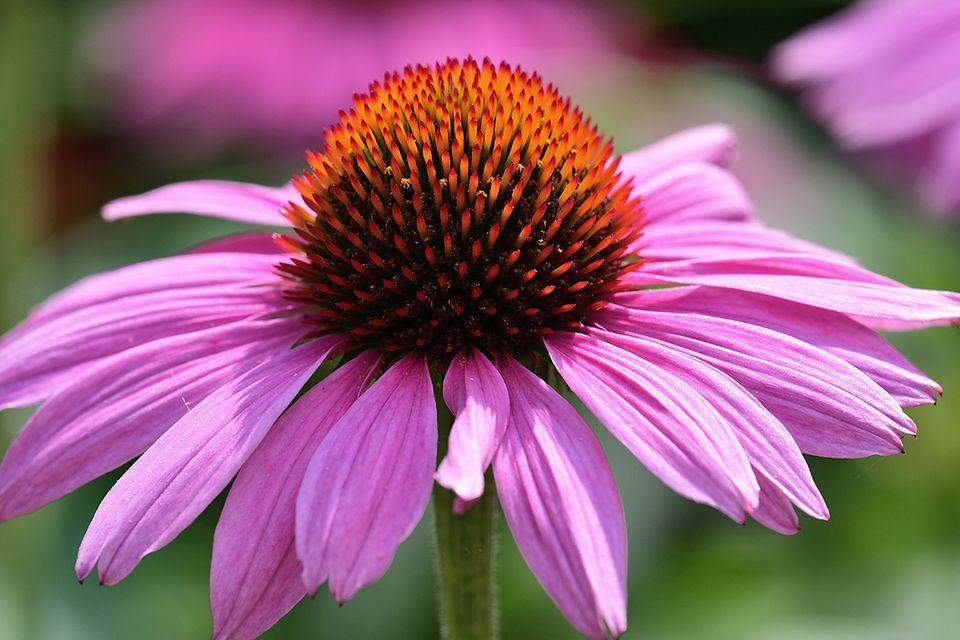 Sonnenhut (Echinacea spec.) violett