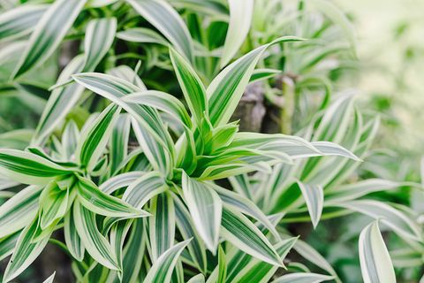 Drachenbaum (Dracaena spec.) Blätter
