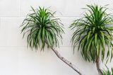 Drachenbaum (Dracaena spec.)