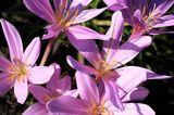 Herbstzeitlose (Colchicum autumnale) Blüten