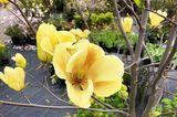 Magnolia acuminata var. subcordata x heptepeta