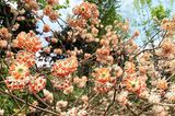Edgeworthia chrysantha, Edgeworthia papyrifera