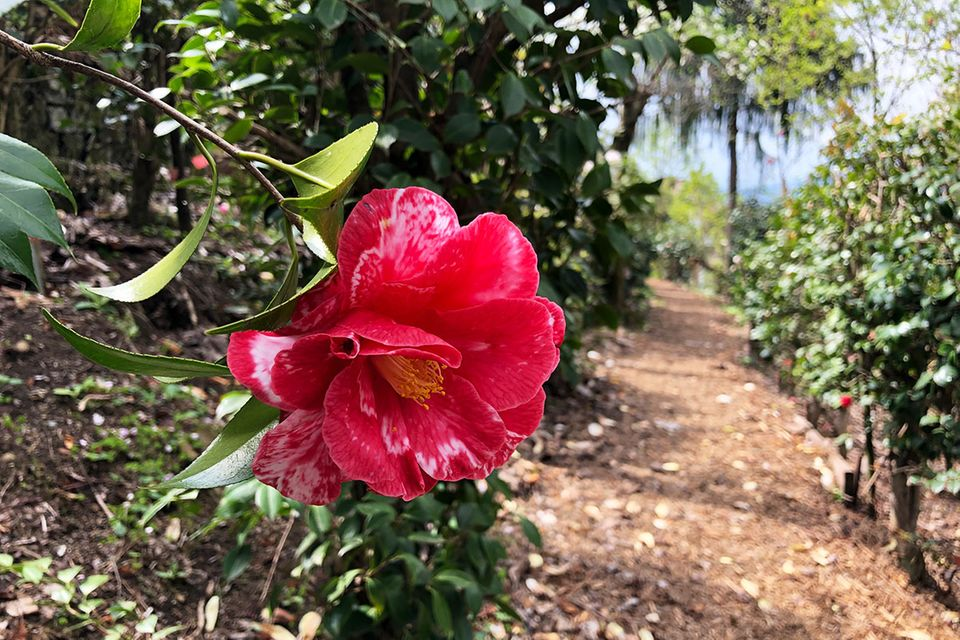 Camellia japonica 'Eleanor Martin Supreme'